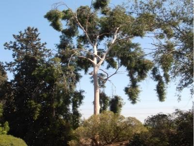 קורימביה לימונית * Corymbia citriodora