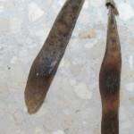 בולוסנתוס נאה * Bolusanthus speciosus