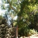 פיקוס קדוש * Ficus religiosa