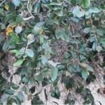 פיקוס זוחל * Ficus pumila
