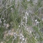 מללויקה דקת-עלים * Melaleuca linariifolia