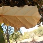 כנף-זרע אדרי * Pterospermum acerifolium