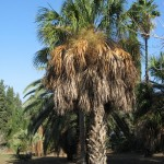 סבל פלמטו (דקל) * Sabal palmetto