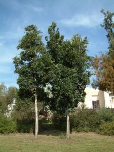סטנוקרפוס הגלגלים * Stenocarpus sinuatus