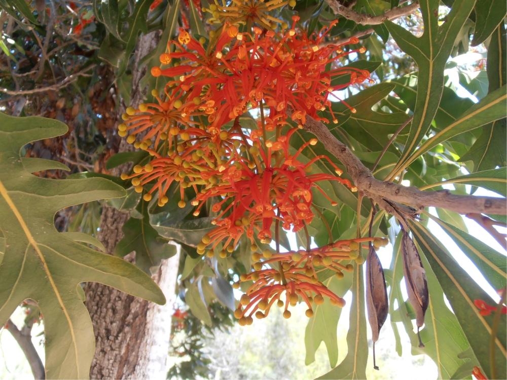 סטנוקרפוס הגלגלים * Stenocarpus sinuatus | חוות הנוי