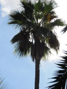 Washingtonia_robusta2